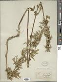 view Leonurus glaucescens Bunge digital asset number 1