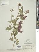 view Agastache pallidiflora var. gilensis R. W. Sanders digital asset number 1