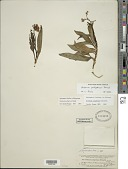 view Solanum pubigerum Dunal digital asset number 1