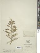 view Lycium andersonii var. wrightii forma flexilis digital asset number 1