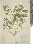 view Physalis crassifolia Benth. digital asset number 1