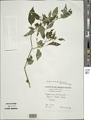 view Capsicum frutescens L. digital asset number 1