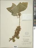 view Acnistus arborescens (L.) Schltdl. digital asset number 1
