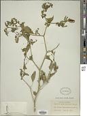 view Capsicum annuum var. conoides (Mill.) Irish digital asset number 1