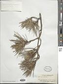 view Pinus thunbergii Parl. digital asset number 1