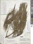 view Pinus pseudostrobus var. apulcensis (Shaw) Lindl. digital asset number 1