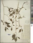 view Capsicum baccatum L. digital asset number 1