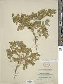 view Solanum novomexicanum (Bartlett) S.R. Stern digital asset number 1