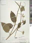 view Solanum aturense Dunal digital asset number 1