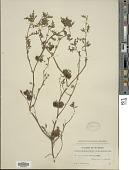 view Solanum triflorum Nutt. digital asset number 1