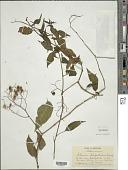 view Solanum seaforthianum var. seaforthianum Andrews digital asset number 1