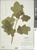 view Solanum torvum Sw. digital asset number 1