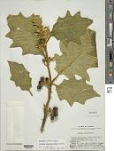 view Solanum chrysotrichum Schltdl. digital asset number 1