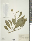 view Solanum asperum Rich. digital asset number 1