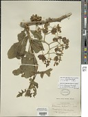 view Solanum bicorne Dunal digital asset number 1