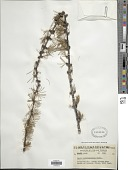 view Larix occidentalis Nutt. digital asset number 1