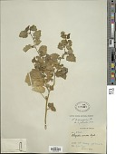 view Physalis hederifolia A. Gray digital asset number 1