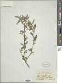 view Solanum douglasii Dunal digital asset number 1