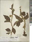 view Solanum adhaerens Roem. & Schult. digital asset number 1