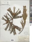 view Pinus koraiensis Siebold & Zucc. digital asset number 1