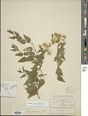 view Solanum jasminoides digital asset number 1