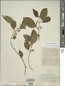 view Solanum lanceifolium Jacq. digital asset number 1