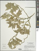 view Solanum carolinense L. digital asset number 1