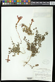view Asteranthera ovata (Cav.) Hanst. digital asset number 1