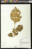 view Cyrtandra kauaiensis Wawra digital asset number 1