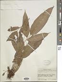 view Meniscium lingulatum (C. Chr.) Pic. Serm. digital asset number 1