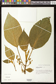 view Cyrtandra platyphylla A. Gray digital asset number 1