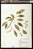 view Cyrtandra macrocalyx Hillebr. digital asset number 1