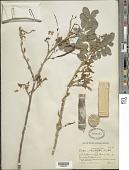 view Poitea multiflora (Sw.) Urb. digital asset number 1