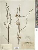 view Gliricidia sepium (Jacq.) Kunth ex Walp. digital asset number 1