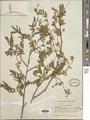 view Coursetia ferruginea (Kunth) Lavin digital asset number 1