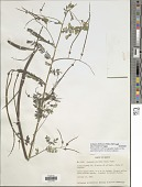 view Sesbania herbacea (Mill.) McVaugh digital asset number 1