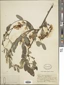 view Robinia hispida digital asset number 1