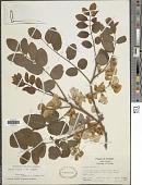 view Robinia hispida L. digital asset number 1
