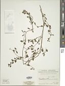 view Salpichroa origanifolia (Lam.) Baill. digital asset number 1