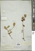 view Vestia foetida Hoffmanns. digital asset number 1