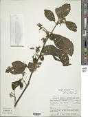 view Solanum subinerme Jacq. digital asset number 1