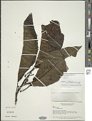 view Solanum cyathophorum M. Nee & Farruggia digital asset number 1