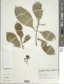 view Solanum rugosum Dunal digital asset number 1