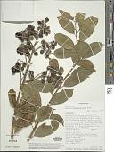 view Solanum madagascariense Dunal digital asset number 1