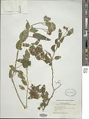 view Solanum dulcamara L. digital asset number 1