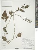 view Solanum circaeifolium Bitter digital asset number 1