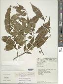 view Solanum morii S. Knapp digital asset number 1