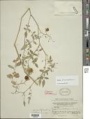 view Solanum pimpinellifolium L. digital asset number 1