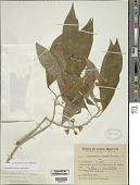 view Solanum confusum C.V. Morton digital asset number 1