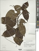 view Solanum proteanthum Bohs digital asset number 1